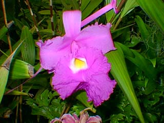 Sobralia macrantha photo by Dale Miyasaki