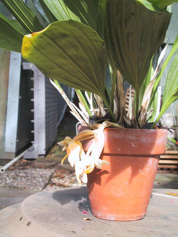 Stanhopea cirrhata, blooming Aug 2003
